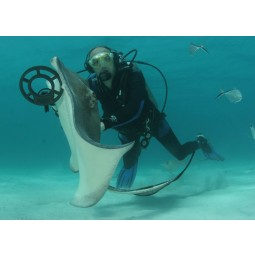 """Scuba diver holding Fisher CZ-21 Metal Detector with 8"""" Search Coil petting a mantaray under water"""